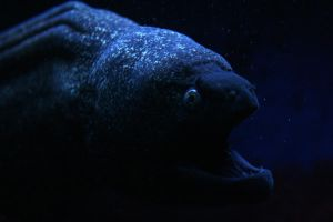 Moray Eel by Knoetchen