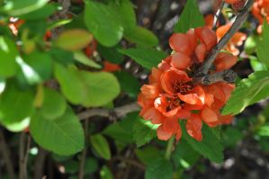 quince by LisenaPirus