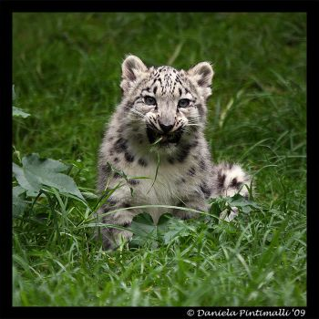Baby Snow Leopard: Tasty by TVD-Photography