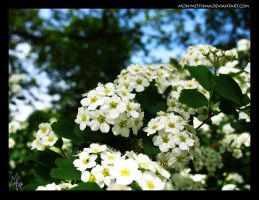 White flowers by mon-mothma