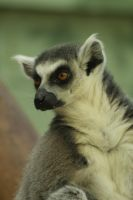 Ring-tailed Lemur by Tinap