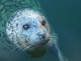 Harbor Seal by ErinMH
