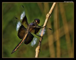 Dragonfly 07-1 by boron