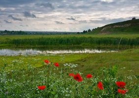 Poppies by lica20
