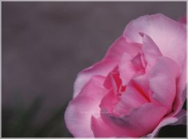 Mothers Carnation by tiffanycook