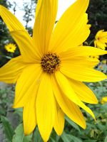 helianthus by marob0501