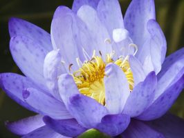 Water Lily02 by osam-devet