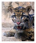 Zoo - Clouded Leopard 03 by phantompanther