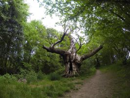 800 year old tree by SP4RTI4TE