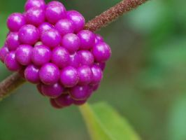 Grape Berries by silentscreamer07