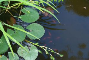 Lily pads by Kitysa