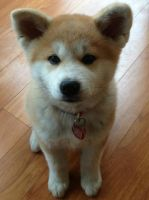 Japanese Akita Inu Puppy by Skele-kitty