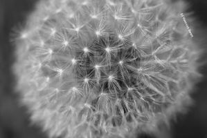 Close up dandelion by SweetSymphony94