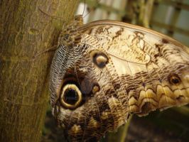 Owl Butterfly :D by princess06