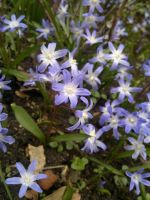 Blue Chionodoxa by johnyquest31