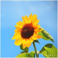 Sunflower. by kle0012