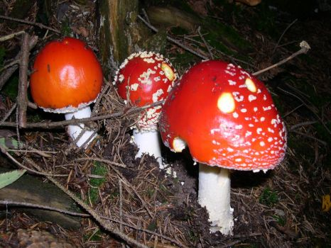 fly agaric by alien682