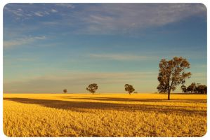 Golden Field Shadows by Mark-Ingram