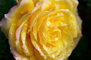 Yellow Rose III by FeralWhippet
