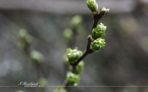 Buds in Spring by TehAngelsCry