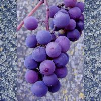 Grapes II by rosaarvensis