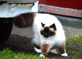 Birman Cat Stock 4 by jojo22