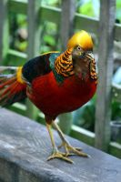 Golden Pheasant by Gothic-Enchantress