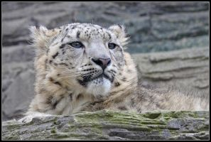 Vishnu the Snow Leopard Cub by nitsch