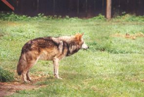 Mexican Wolf by Ngatuny