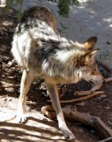 Mexican Wolf 1 by Jarahamee