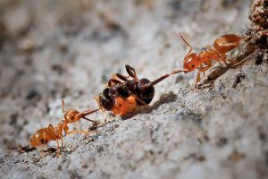 Battle of the Ants by MissFlykt