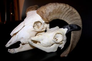 mouflon skulls comparison by Nimgaraf
