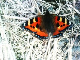 Small Tortoiseshell Butterfly by christina-0o