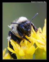 Eastern Carpenter Bee by boron