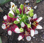 Asiatic Lilies by WDWParksGal