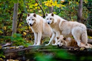 Arctic Wolves by MonstrousDesigns
