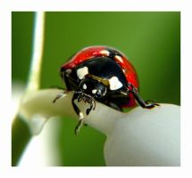 Lady bug by ramshackle2