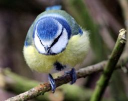 Blue tit by karliosi