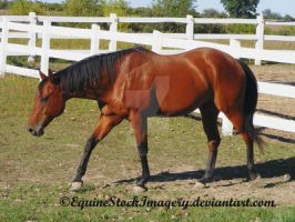 Quarter Horse 20 by EquineStockImagery