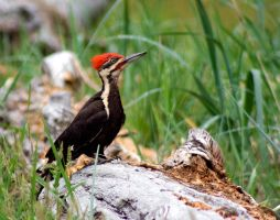 Pileated Woodpecker by JoeJoeBob