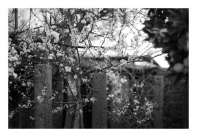 Underneath the blackthorn tree by fuxs