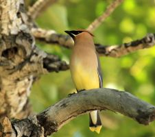 Cedar waxwing by sgt-slaughter
