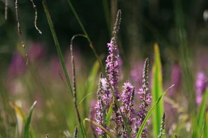 Purple Loosestrife by Tinap