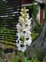 White and black Larkspur by 97Cas