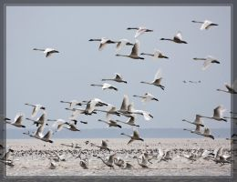 Tundra Swans 40D0033946 by Cristian-M