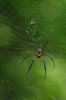 Red Legged Golden Orb web Spider by AlHabshi