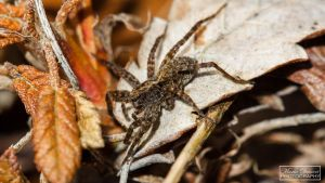 First spiders of the year (Wolfspider) by MariaDeinert
