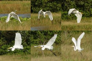 Stock Egret Collage by riktorsashen