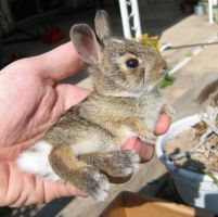 A baby bunny by squeet