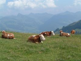 Austrian cows by davdiana